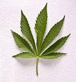 de cannabis plant