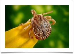 ziekte van Lyme door bacterie
