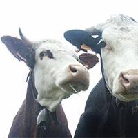 melkveehouders-in-de-knel